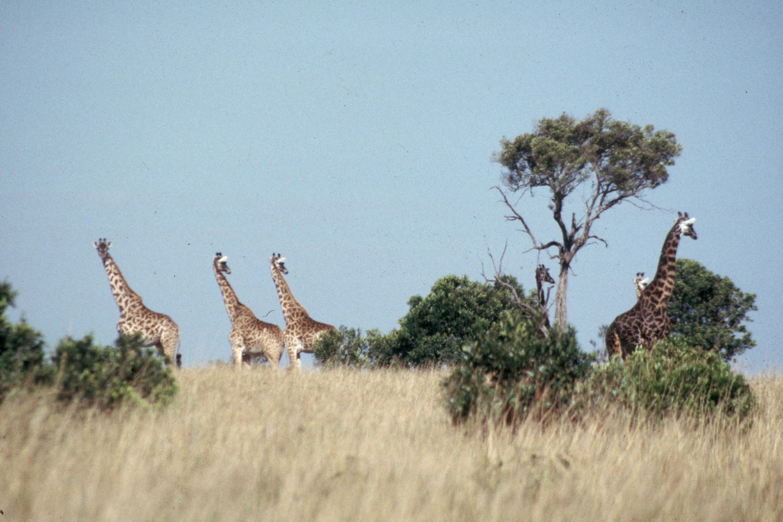 masai-giraffe-Scan237