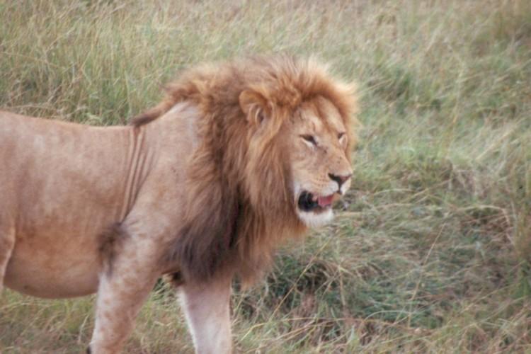 masai-lion-Scan171