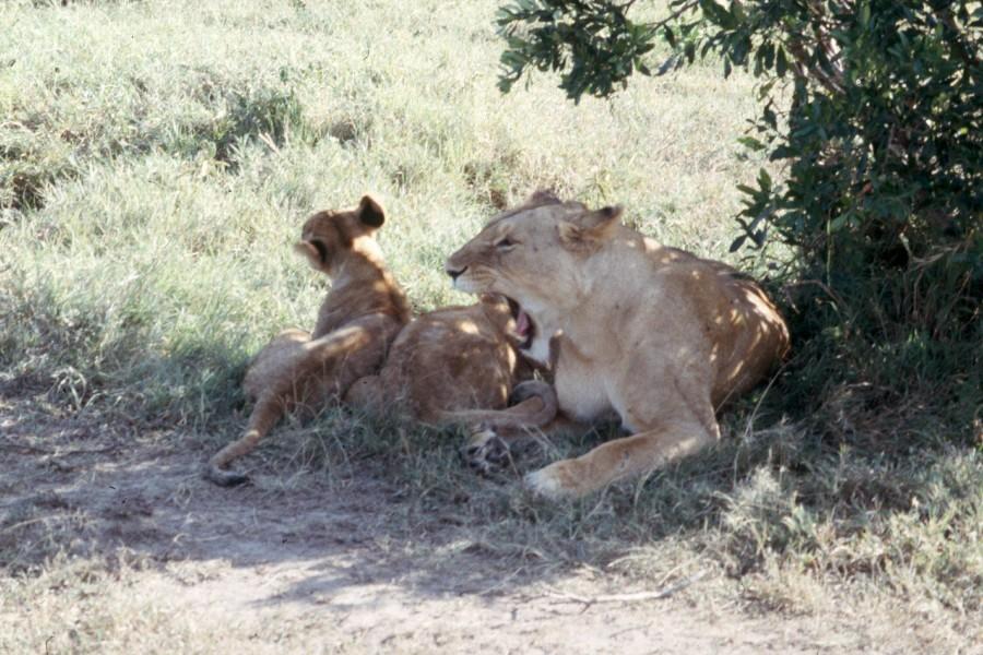 masai-lion-Scan3837