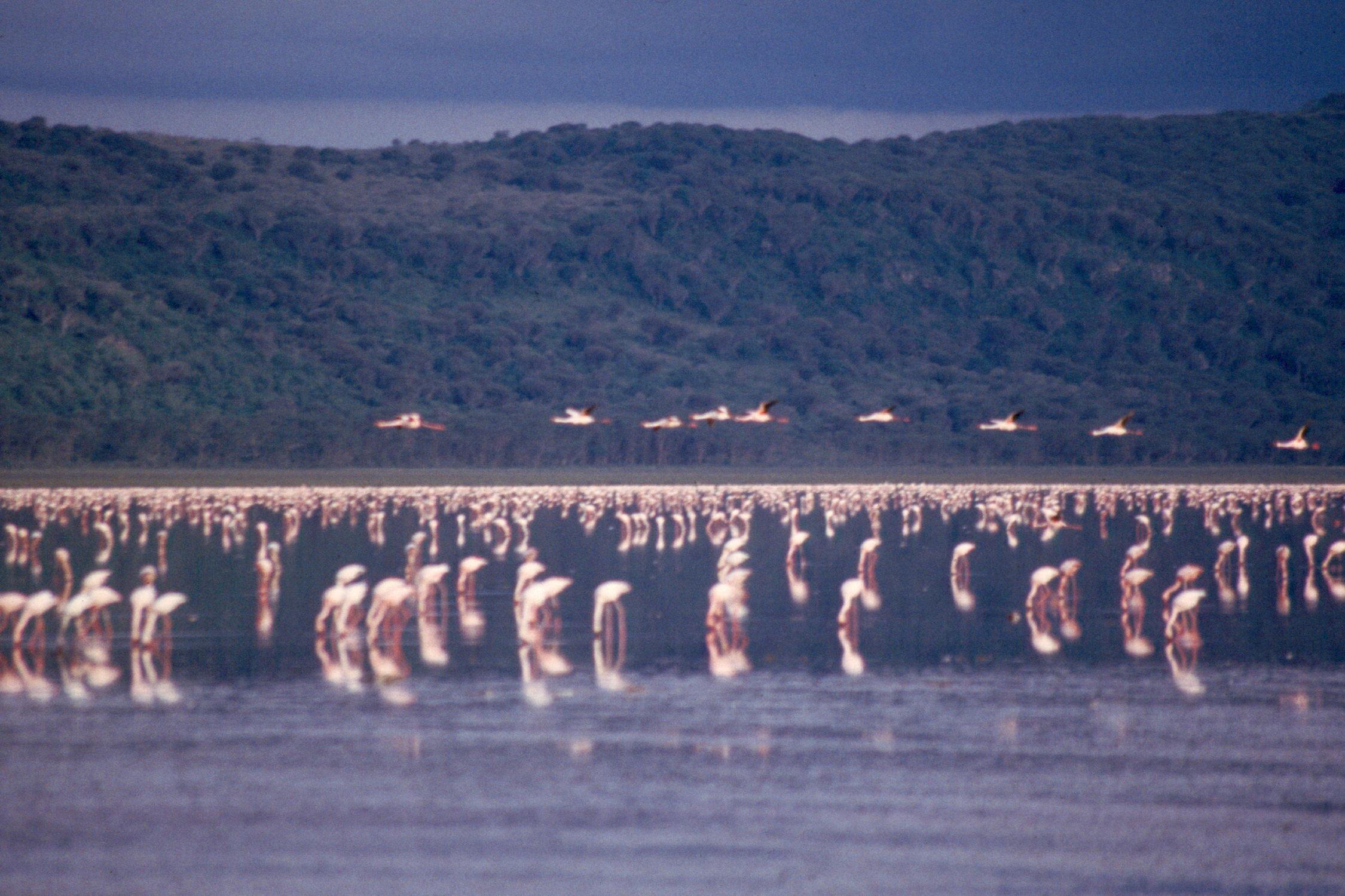 nakuru-lake-flamengo-05