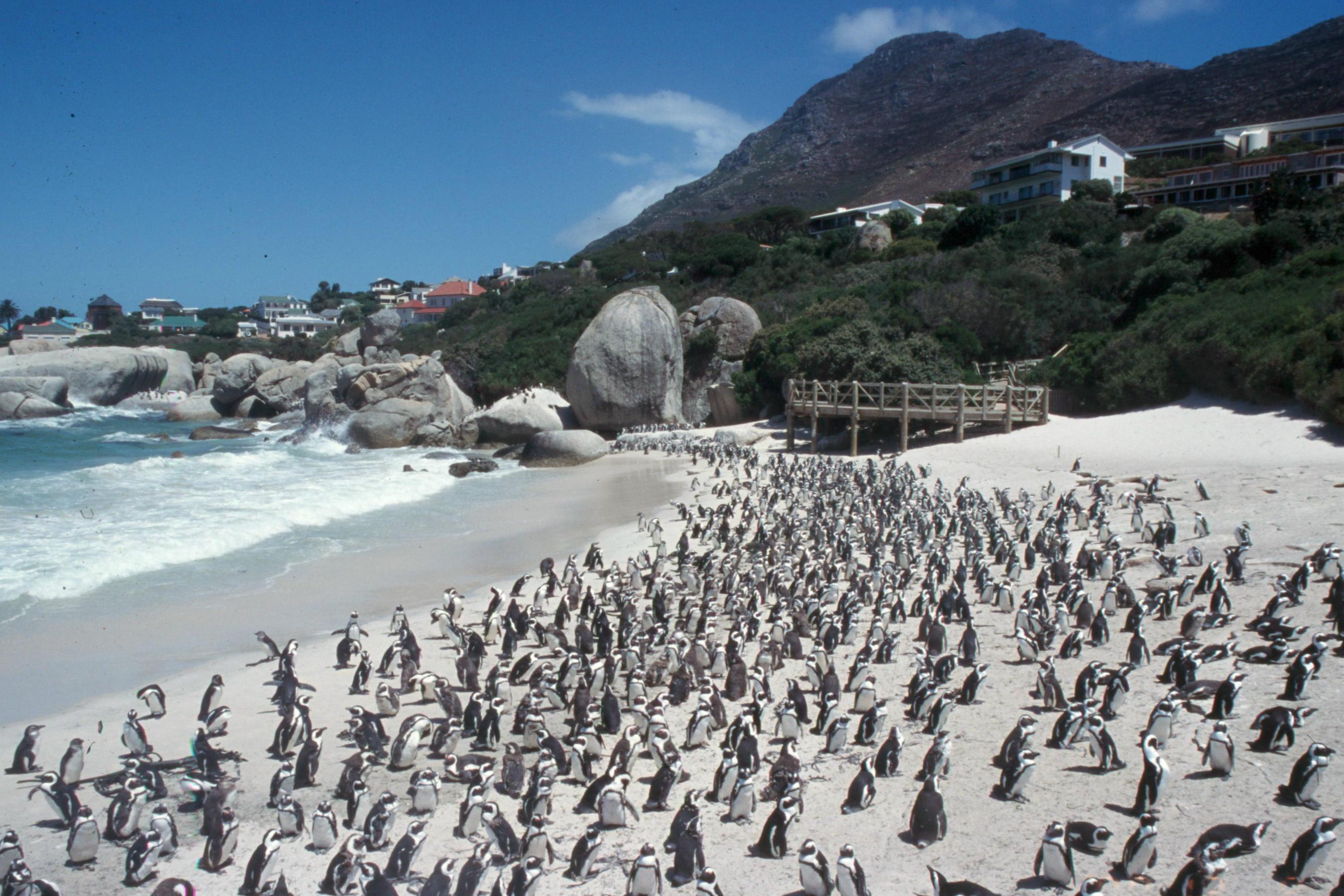 boulders-beach-penguin-Scan63