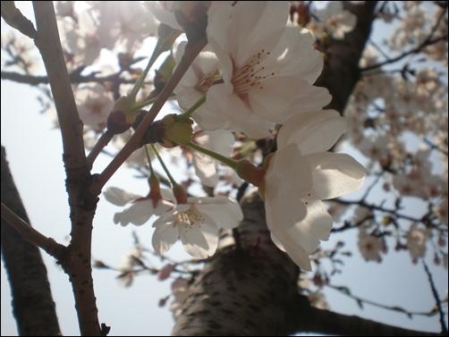 가벚꽃10.JPG