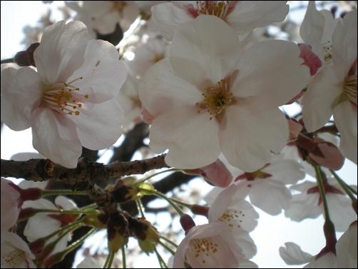 가벚꽃11.JPG