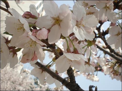 가벚꽃12.JPG