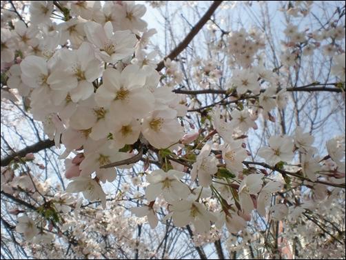 가벚꽃13.JPG