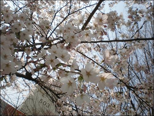 가벚꽃14.JPG