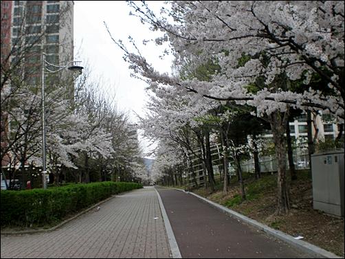 가벚꽃15.JPG