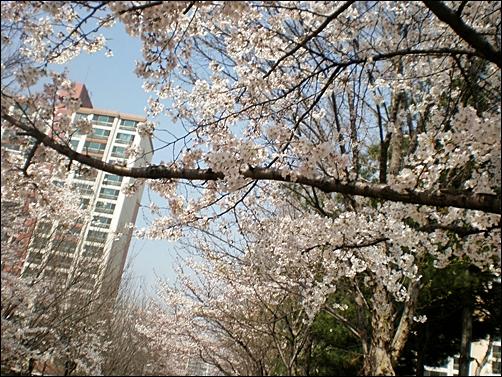 가벚꽃3.JPG