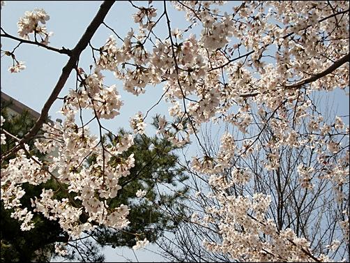 가벚꽃4.JPG