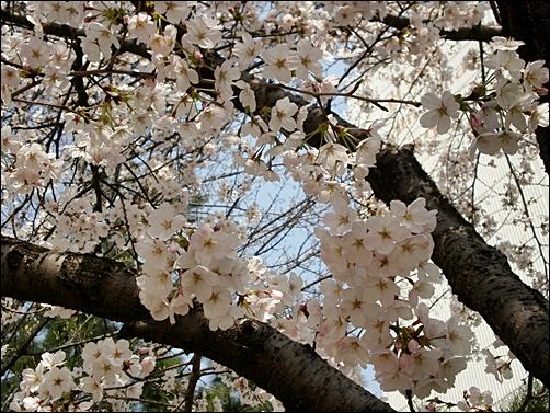 가벚꽃5.JPG