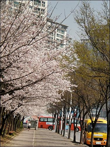가벚꽃6.JPG