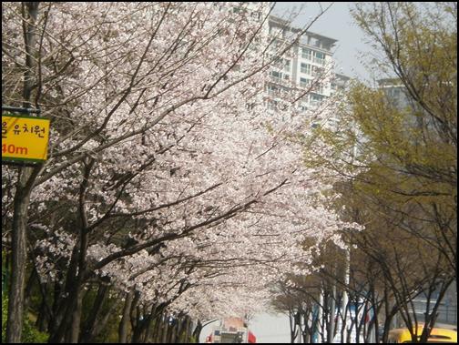 가벚꽃7.JPG
