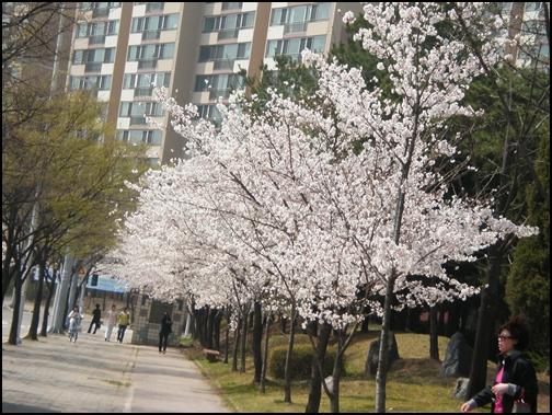 가벚꽃8.JPG