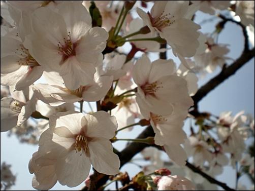 가벚꽃9.JPG