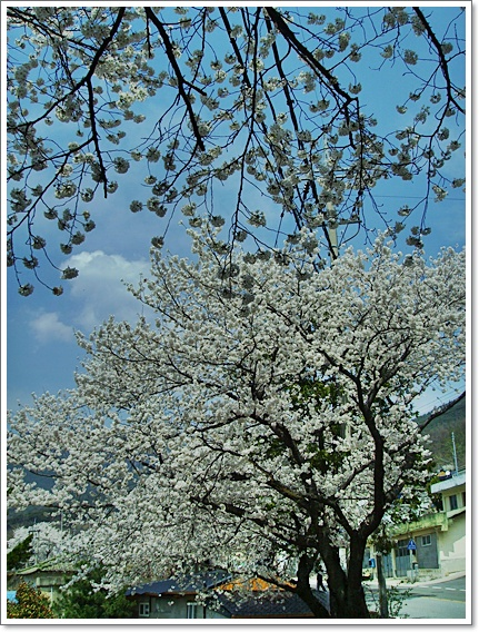 벚꽃12.JPG