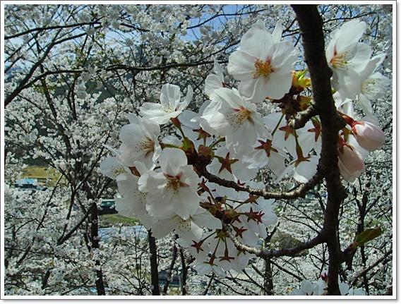 벚꽃14.JPG