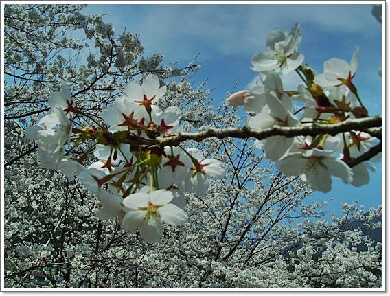 벚꽃15.JPG