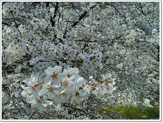벚꽃18.JPG