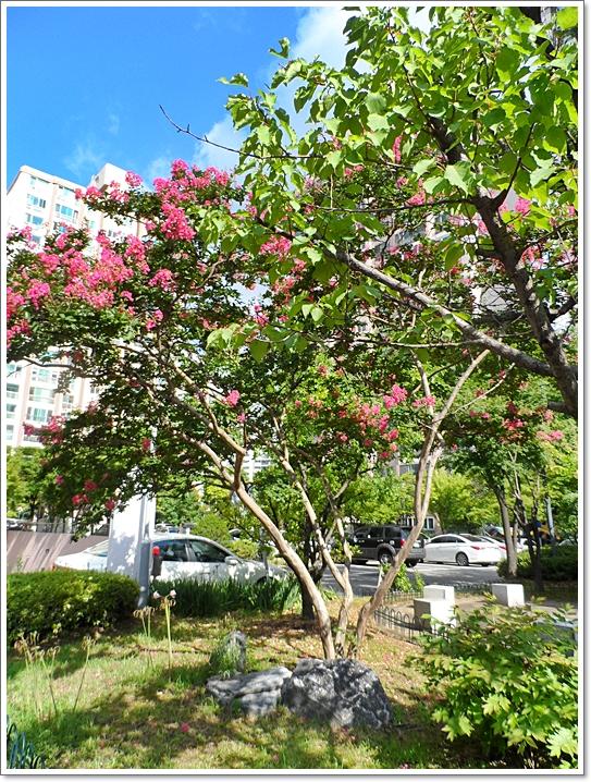 나무백일홍5.JPG