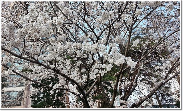 벚꽃5.jpg