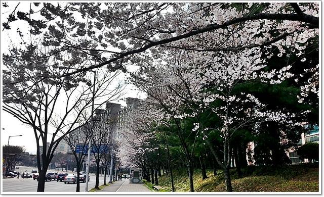 벚꽃6.jpg