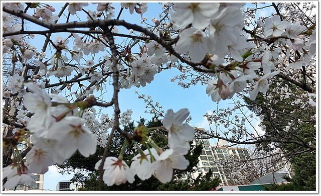 벚꽃7.jpg