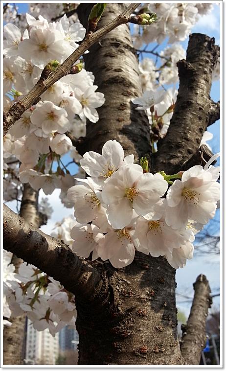 벚꽃9.jpg