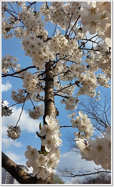 벚꽃10.jpg