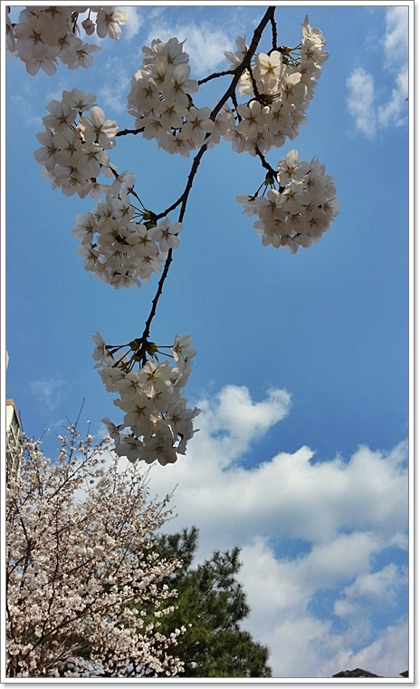 벚꽃11.jpg