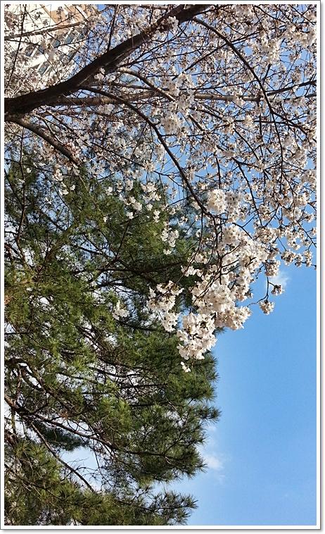 벚꽃13.jpg
