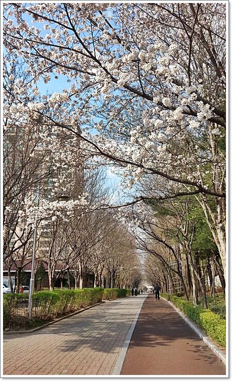 벚꽃16.jpg