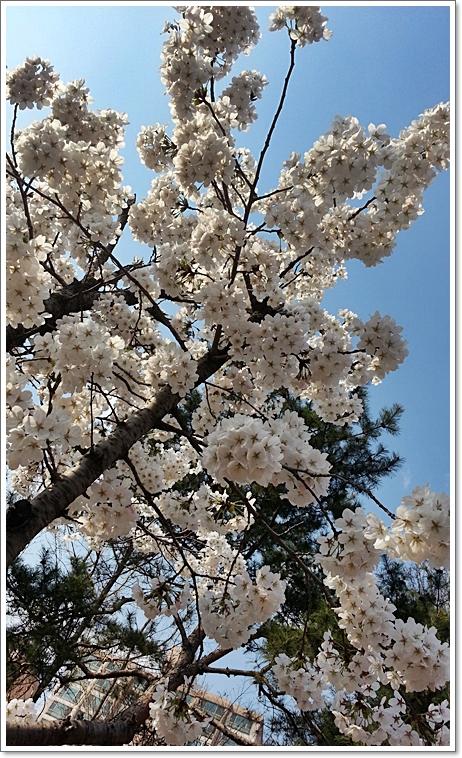 벚꽃17.jpg