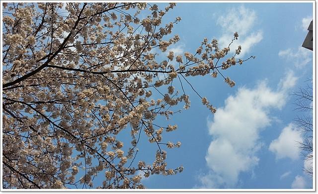 벚꽃23.jpg