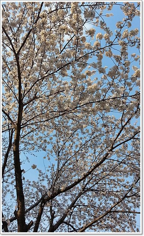 벚꽃24.jpg