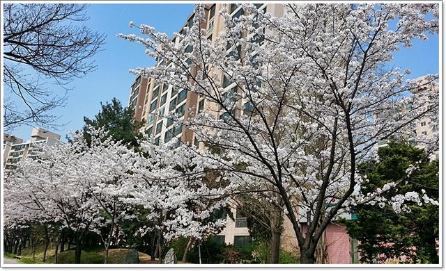 벚꽃25.jpg