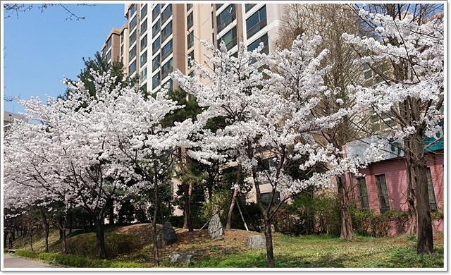 벚꽃26.jpg