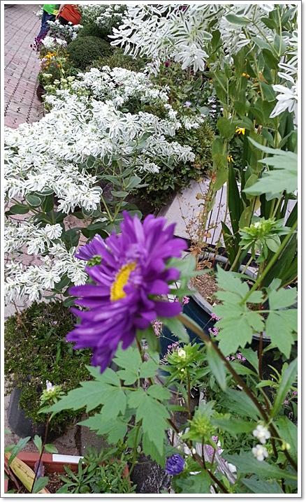 과꽃2.jpg