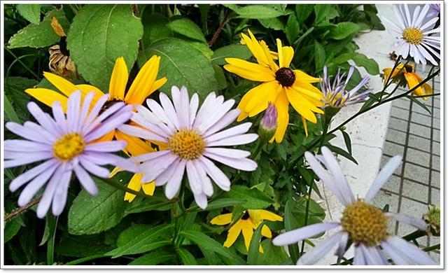 과꽃5.jpg
