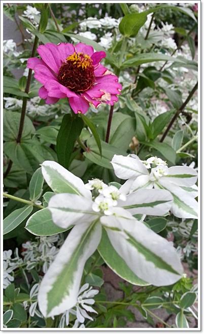 과꽃11.jpg