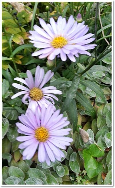 과꽃15.jpg