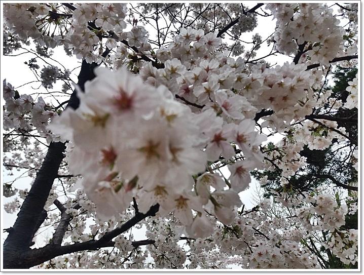 동네벚꽃1