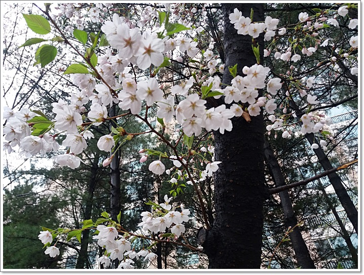 동네벚꽃10
