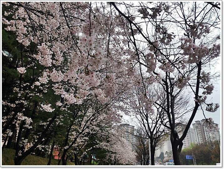 동네벚꽃11