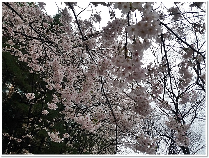 동네벚꽃12