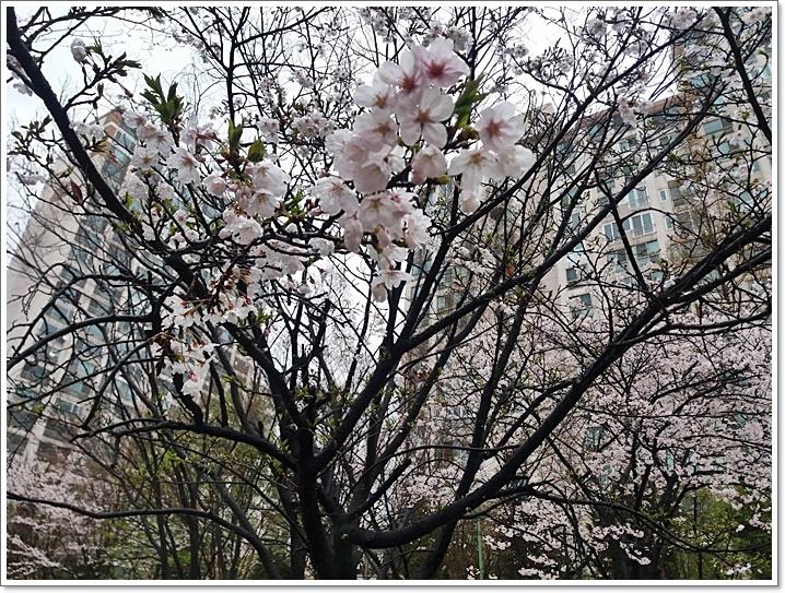 동네벚꽃13