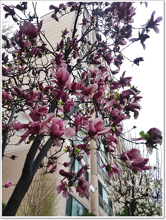동네벚꽃17