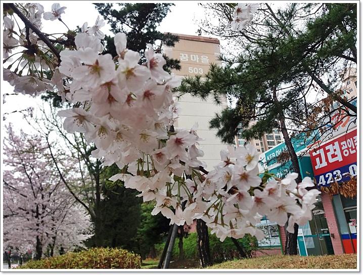 동네벚꽃3