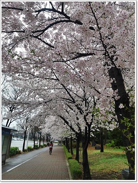 동네벚꽃5