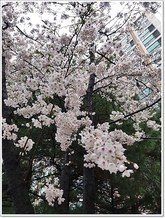 동네벚꽃6