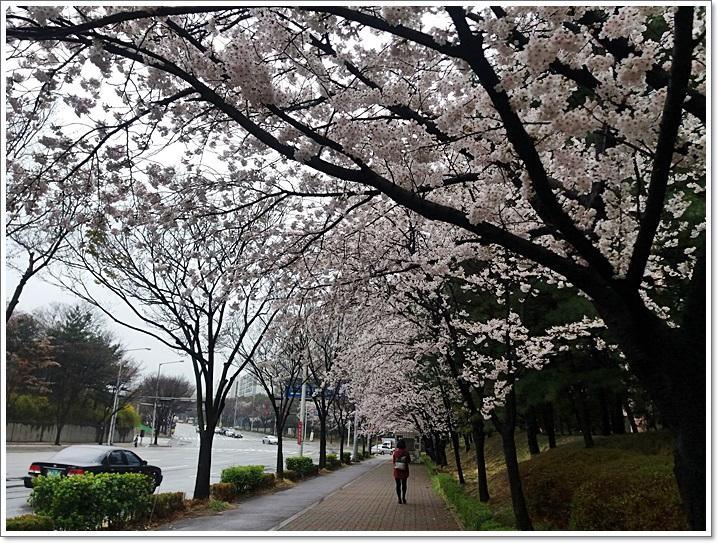 동네벚꽃7